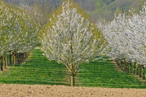 hintergrunf-kirschbaum
